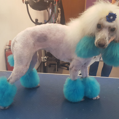 Dog Creative Grooming Poodle