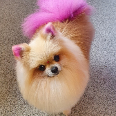 Dog Creative Grooming Pomeranian